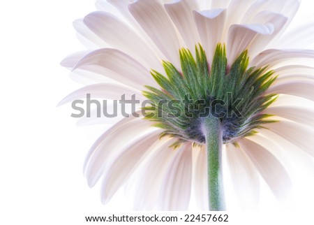 macro of the back of a white gerbera isolated on white