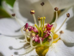 macro of the center of a white flower with burgundy anthers. pollen on stamina and stigmata of a fruit tree flower.