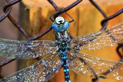 Macro of the dragonfly with blue eyes