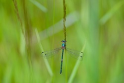 Macro of the emerald spreadwing (Lestes dryas) damselfly with a tiny fly sitting on it. A metallic green damselfly holding on a spike.
