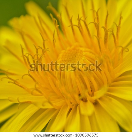 Macro of the heart of a bright yellow flowering dandelion close-up,  selective focus - taraxacum #1090596575