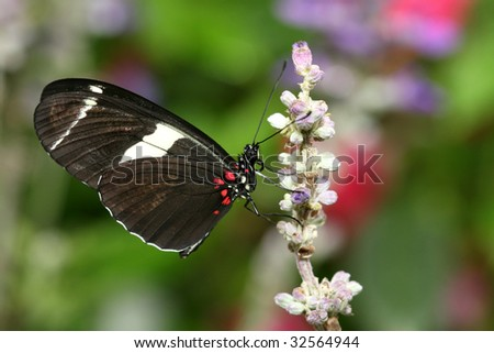 Macro of the Heliconius atthis  butterfly on pink flower