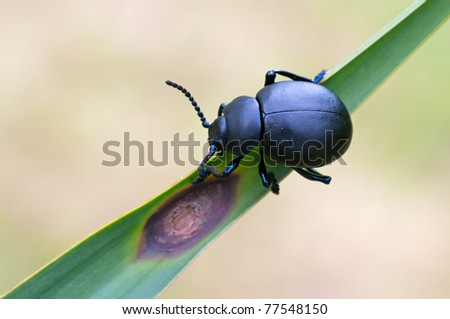 macro of Timarcha tenebricosa in the wild