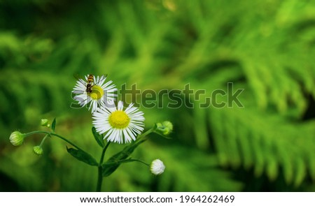 Macro of tiny Annual fleabane white flowers or Erigeron annuus (Daisy or Eastern daisy fleabane)  with hoverfly - family Syrphidae. Selective close-up with copy space on green blurred background Stockfoto ©