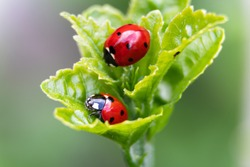 Macro of two ladybugs on the leaves