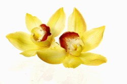 Macro of two yellow orchid