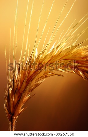 Macro of wheat plant against strong and warm backlight