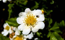 Macro of white dog rose. Single wild rose flower lit by the sun with a fly that has landed on a petal. Dog rose in the middle of the bush in a natural setting.
