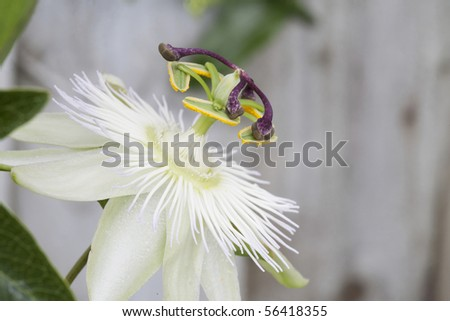 macro of white  passion flower fully open