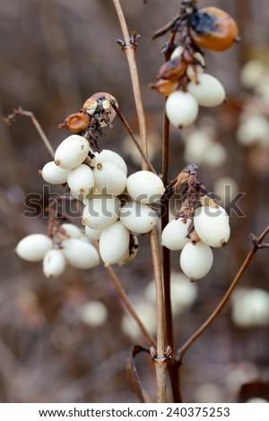 Macro of white snowberry  fruits in winter
