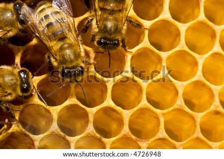 Macro of working bee on the honey cells