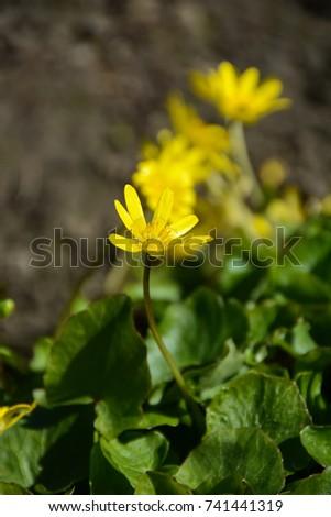 Macro of Yellow anemone (Anemone ranunculoides) #741441319