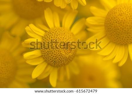Macro of yellow flower- golden marguerite - yellow chamomile [Anthemis tinctoria] - Shutterstock ID 615672479