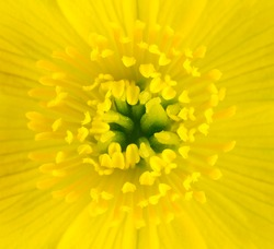Macro of Yellow Marsh Marigold Flower Center. Closeup of Pistils, Anther with Yellow Background