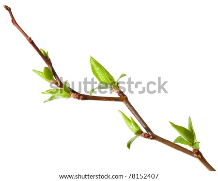 Macro of young foliage on cherry twig isolated on white