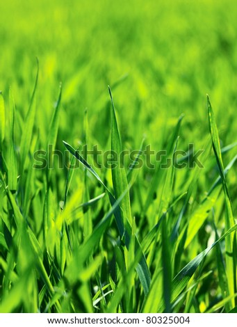 Macro of young wheat sprouts at springtime