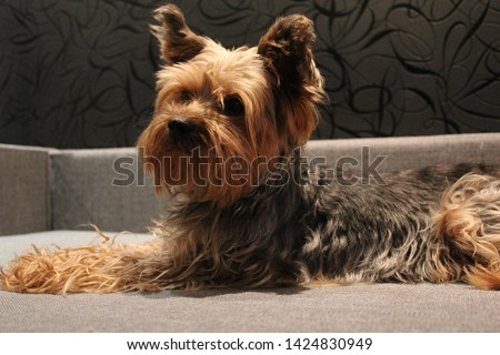 Macro photo animal dog Yorkshire terrier. Texture background puppy dog Yorkshire terrier sitting on the bed. Image puppy pet yorkie terrier