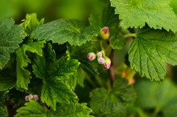 Macro photo blackcurrant blossom, detail. Flowers on a berry bush. Green foliage close-up. Unopened flower buds.