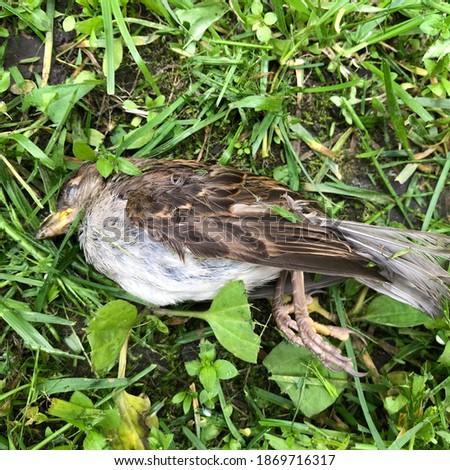 Macro photo dead sparrow. Stock photo dead sparrow bird