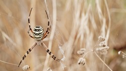 Macro photo female spider Argiope bruennichi or aspen spider in spider web against background dry beige grass.Beautiful natural insect banner close up.Yellow-black striped poisonous dangerous spider