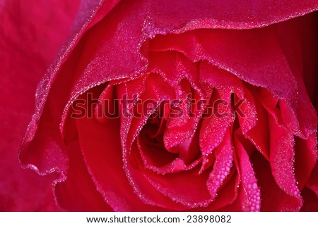 red rose flower garden. flower red rose in garden