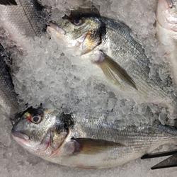 Macro Photo food fresh-frozen Gilt-head bream fish. Texture background sea fish dorade. Image of seafood fresh fish Gilt-head bream orata lying on ice