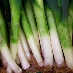 Macro Photo food plant onion leek. Background texture Plant vegetable leek with succulent green stems. Leek lies in rows