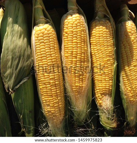 Macro Photo food vegetable sweet raw ear corn. Texture background of fresh yellow corns. Image vegetable product big sweet maize corns