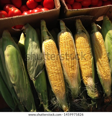 Macro Photo food vegetable sweet raw ear corn. Texture background of fresh yellow corns. Image vegetable product big sweet corns maize