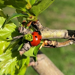 Macro photo ladybug. Stock photo nature red ladybug