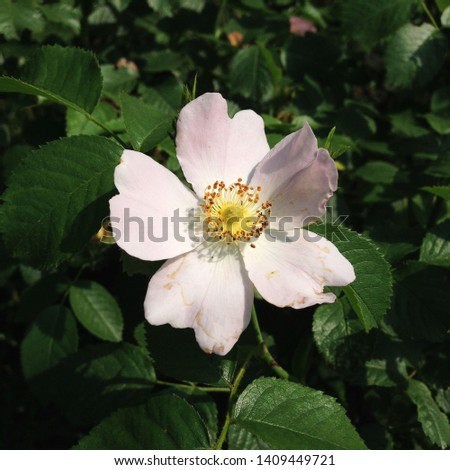 Macro photo nature blooming bud dog rose. Background of opened buds of wild Rosa canina with rose petals. Plant flowering bush wild rose with rosebuds