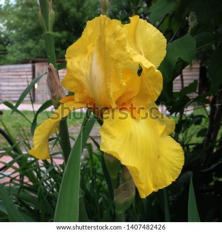 Macro photo nature blooming bud flower iris. Background opened bud of yellow iris. Flowers irises with yellow petals grow on the field