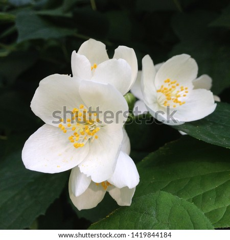 Macro photo nature blooming bush jasmine. Background texture bush with blooming white jasmine flowers. Image of a plant june blooming jasmine bush