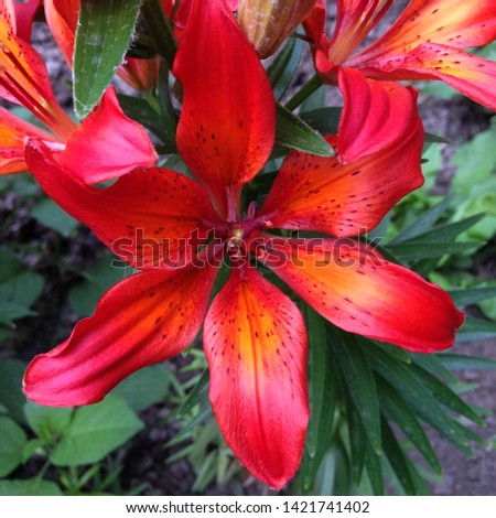 Macro photo nature blooming flower Lilium bulbiferum. Background texture plant fire lily with pink and red buds. Image plant blooming orange red tropical flower tiger lily