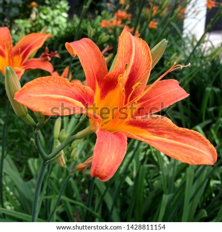 Macro photo nature blooming flower orange Lilium bulbiferum. Background texture plant fire lily with orange buds. Image plant blooming orange  tropical flower tiger lily