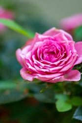 Macro photo nature blooming flower pink rose. Background plant rose with pink and open bud.