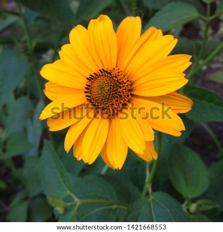 Macro photo nature blooming yellow flower Rudbeckia. Background texture plant Rudbeckia flower, coneflowers, black-eyed-susans. Image plant blooming rudbeckia, yellow daisy