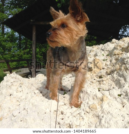 Macro photo nature dog Yorkshire terrier. Pet Puppy dog Yorkshire terrier sitting on a mountain of white sand. Dog breed yorkie terrier on the beach.