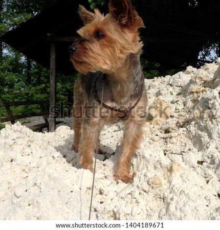 Macro photo nature dog Yorkshire terrier. Puppy dog Yorkshire terrier sitting on a mountain of white sand. Dog breed yorkie terrier on the beach.