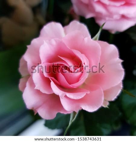 Macro Photo nature flower pink rose bud. Rosebud opened. Stock photo plant Beauty Pink Rose