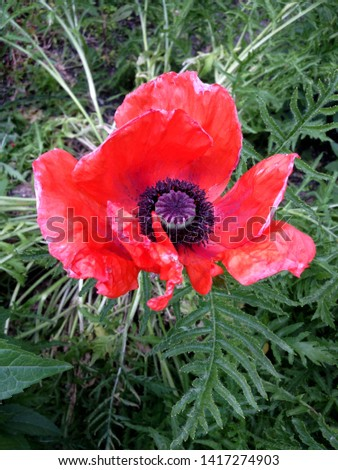 Macro photo nature flower red poppy. Background texture of round fluffy blooming poppy flower. The image of a plant blooming flower red poppy on the field