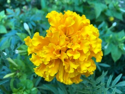 Macro photo nature flower yellow Tagetes Marigolds. Background texture of a blooming yellow flower Tagetes with a fluffy bud. The image of a plant blooming yellow Tagetes on the field