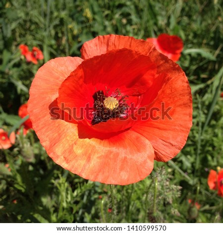 Macro photo nature flowers blooming poppies. Background texture of red poppies flowers. An image of a field of red poppies.