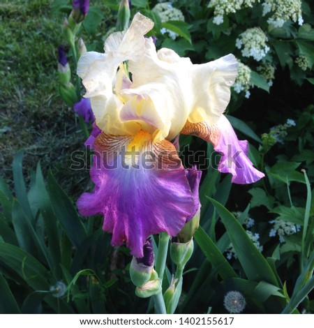 Macro photo nature flowers lilac violet irises. Background blooming flowers violet lilac irises grow in a flowerbed.