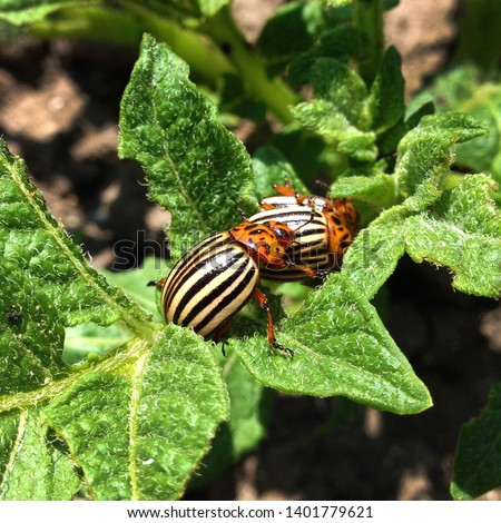 Macro Photo  Nature pests Of The Colorado Beetle. Texture Colorado striped beetles are sitting on the leaves of potatoes.