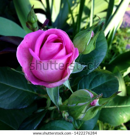 Macro photo nature pink rose. Texture background blooming flower pink rose. Images of rose flower with pink buds.