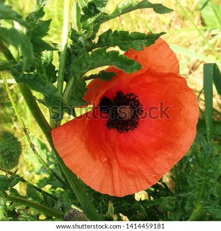 Macro photo nature plant flower poppy. Background texture of a blooming wild poppy flower. Image of poppy bud on the field