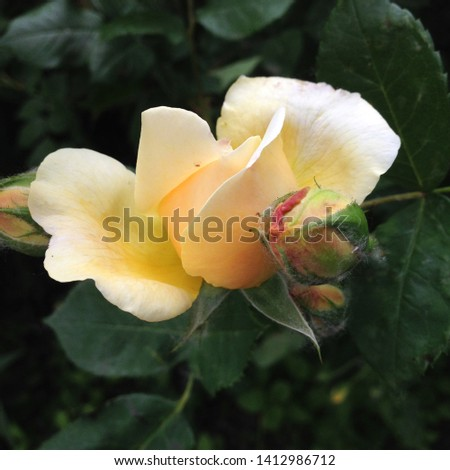 Macro photo nature plant flower yellow rose. Background texture blooming flower yellow rose. Image of a rose bud with yellow petals