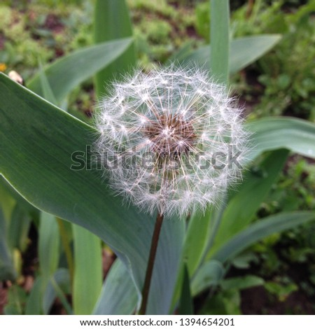 Macro Photo Nature plant fluffy dandelion. Blooming white dandelion flower on the background of plants and grass.