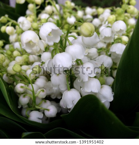 Macro photo nature spring lilies of the valley. Background bouquet of blooming white flowers lilies of the valley.